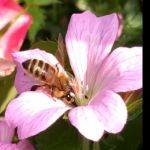 Honey bee on a flower 2 video