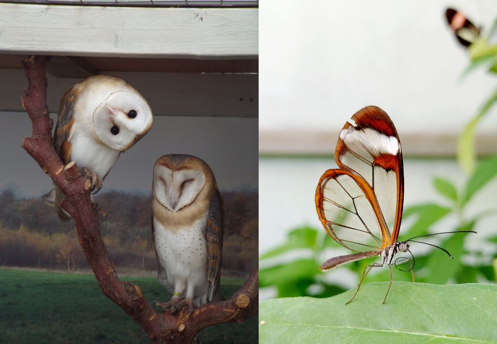 2 barn owls and a glasswing butterfly